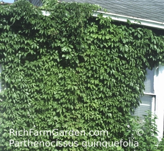 Virginia Creeper American Ivy Parthenocissus quinquefolia green