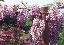 Purple Chinese Wisteria sinensis